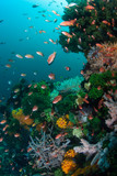 Colorful reef fish swarm over a vibrant coral reef in Komodo National Park, Indonesia. This region harbors extraordinary marine biodiversity and is a popular destination for divers and snorkelers.