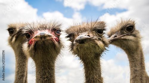 Fotobehang Struisvogel Die Vier. Das Straussenteam