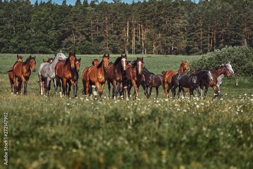 Fototapeta A herd of young horses on pasture obraz