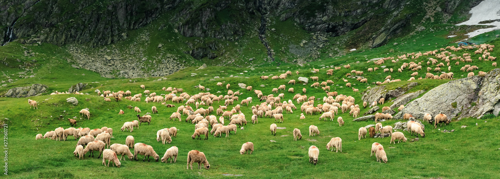 panoramic image of sheep herd on a grassy meadow. wonderful scenery on a gloomy overcast day in summer. location fagaras mountain range, romania