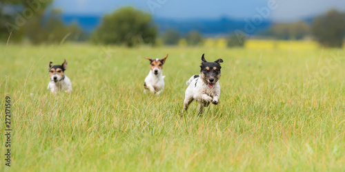 Many dogs running and playing fast in a meadow - a cute pack of Jack Russell Terriers