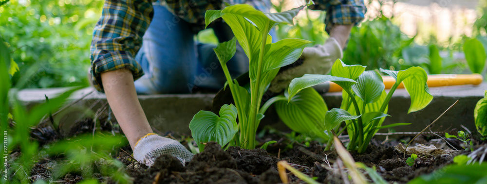 Fototapety, obrazy: close up female planting decorative plant with huge leaves in the soils