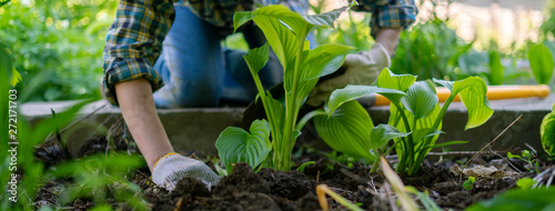 Fotografija close up female planting decorative plant with huge leaves in the soils