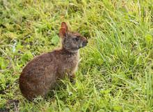 Profile Of A Marsh Rabbit At G...