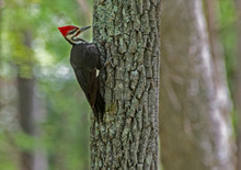 Pileated Woodpecker Searching ...