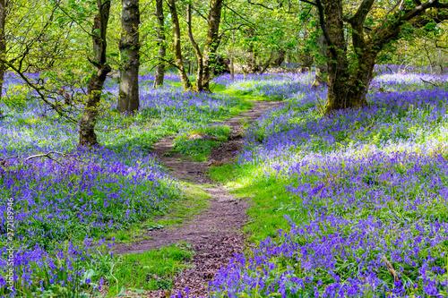 Foto auf Gartenposter Wald Beautiful bluebells in the forest of Scotland