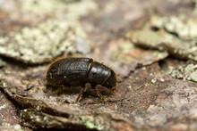 Great Spruce Bark Beetle, Dendroctonus Micans On Pine Bark