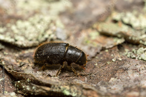 Great spruce bark beetle, Dendroctonus micans on pine bark Wallpaper Mural