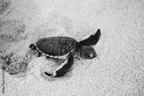 Green sea turtle hatchling Tapéta, Fotótapéta