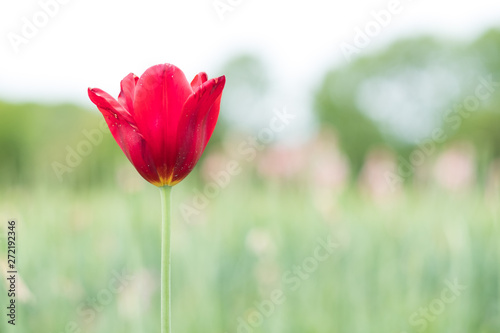 One red tulip flower in the garden during spring or summer time Canvas Print
