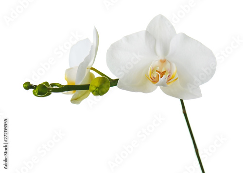 Garden Poster Orchid Orchid flowers isolated on white.