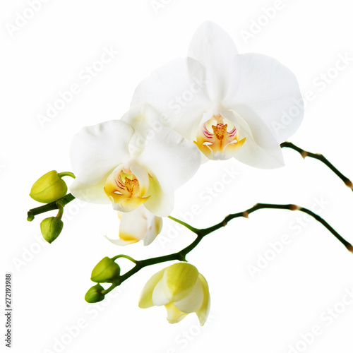Poster Orchid Orchid flowers isolated on white.