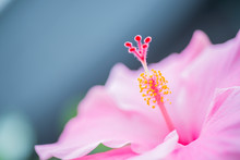 Pink Hibiscus Flower And Foliage Over Bright Background