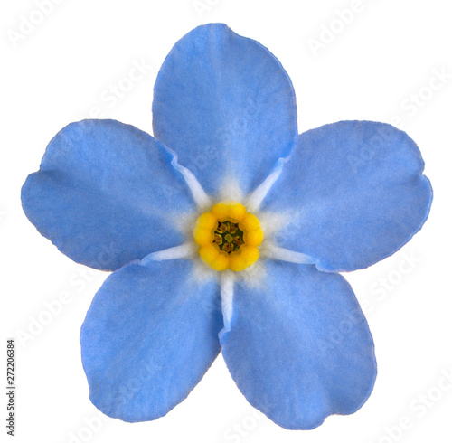 forget me not flower - 272206384