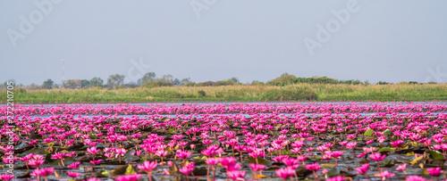 Poster de jardin Nénuphars Red lotus sea