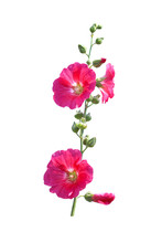 Inflorescence Sweet Colorful R...