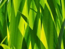 Reeds In Sunlight