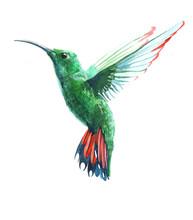 Watercolor Colibri Hummingbird...