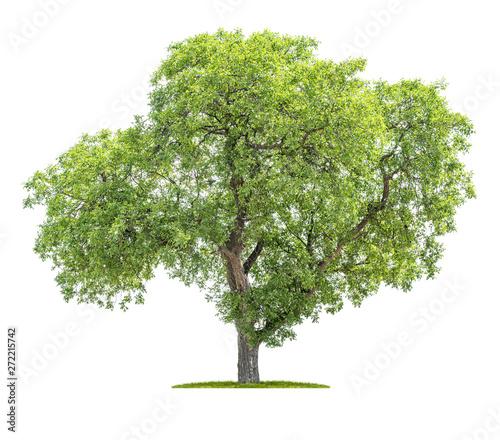 Fotografia, Obraz  Isolated tree on a white background - Juglans regia - Walnut tree
