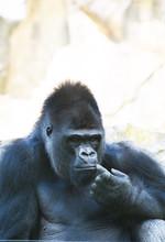 Gorilla At Rest