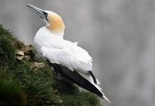 Gannet Resting At Bempton Cliffs, Yorkshire