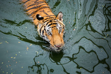 Asian Tiger Is Swimming In The Swamps.