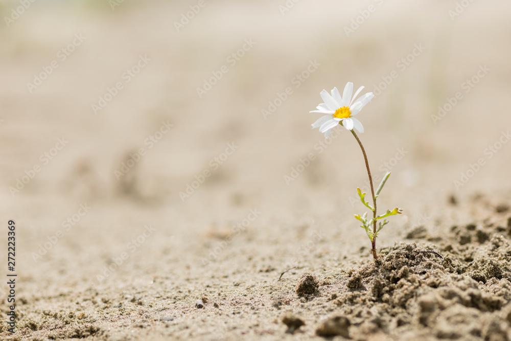 Fototapeta Daisy flower blooming on a sand desert