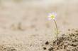 Leinwandbild Motiv Daisy flower blooming on a sand desert