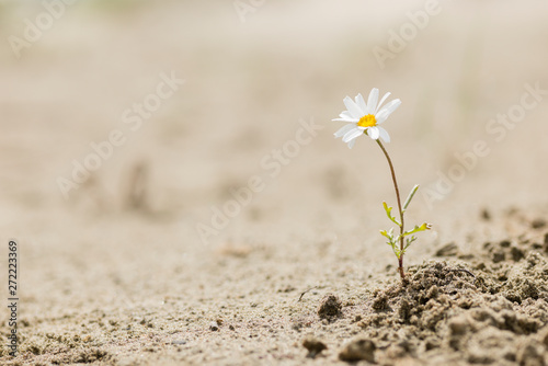 Photo sur Toile Fleuriste Daisy flower blooming on a sand desert