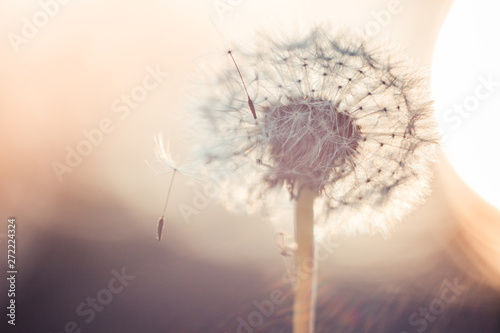Dandelion flower closeup shot in warm colors for abstract background. Macro, fantasy postcard, ecology, wild life and gardening, copyspace, selective focus. - 272224324