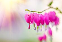Dicentra Flower Heart Shaped Flowers. Pink Bleeding Heart Flowers Bouquet Background. Purple Broken Hearts Flowers Growing In Spring Garden