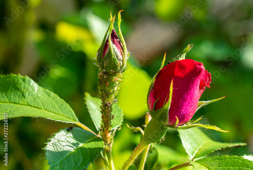 colony of aphids on a young rosebud close-up Canvas Print