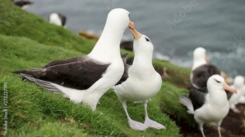 Fényképezés  Close up of a  Black-browed Albatross courtship dance with bill circling and head nodding, Falkland Islands