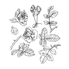 Rose plant with flowers set. Hand drawn rose vector, etch style. Buds, leaves, stem