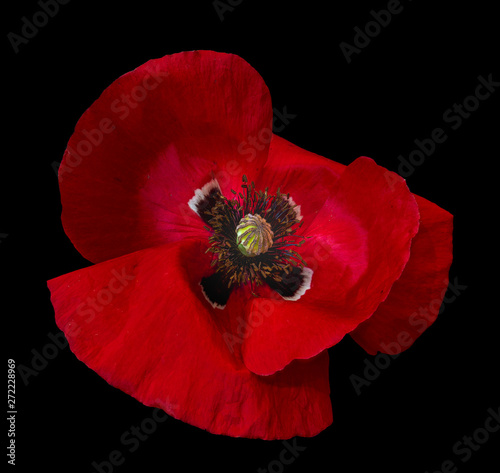 Isolated Dark Red Glossy Poppy Blossom Macro On Black