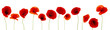 Beautiful poppies flowers on white background