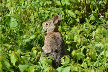 Cottontail Rabbit Hiding In Gr...