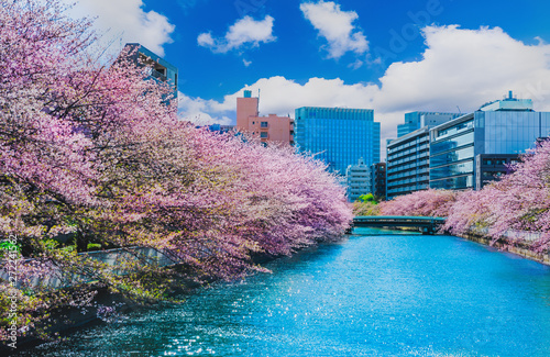 Photo Cherry blossom in Tokyo,Japan.