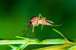 canvas print picture Encephalitis, Yellow Fever, Malaria Disease or Zika Virus Infected Culex Mosquito Parasite Insect Macro on Green Plant
