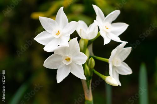 Photo Narcissus polyanthus (tazetta, paperwhite, bunch-flowered daffodil, Chinese sacr