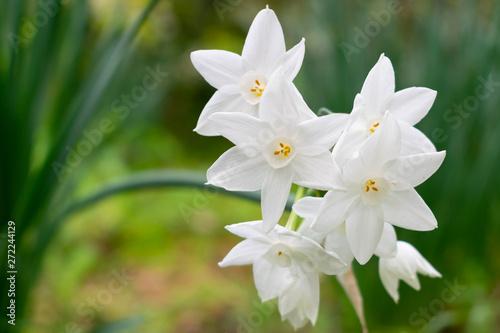 Photo sur Aluminium Narcisse Narcissus polyanthus (tazetta, paperwhite, bunch-flowered daffodil, Chinese sacred lily, cream, joss flower)