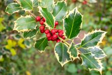 Holly (Ilex Aquifolium) Branch...