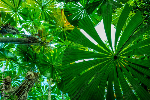 Photo View upward through dense green licuala palm forest in the Daintree national par