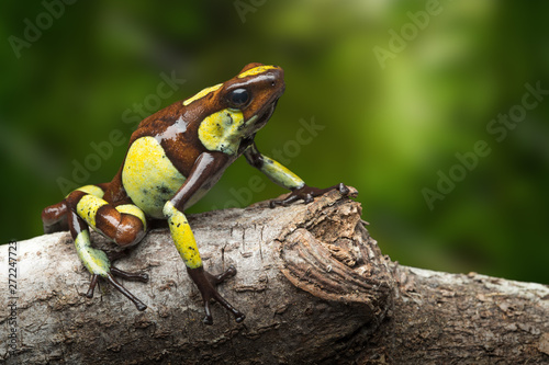 Spoed Foto op Canvas Kikker Poison dart frog, Oophaga histrionica. A small poisonous animal from the rain forest of Colombia.