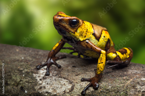 Photo  Harlequin poison dart frog, Oophaga histrionica, a small poisonous animal from t