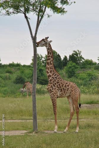Safari in Columbus,OH