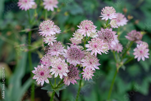 macro shot of pink flowers of astrantia major showing many details like pistils Canvas Print