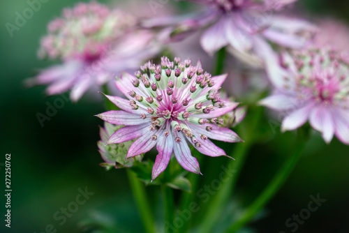 Photo macro shot of pink flowers of astrantia major showing many details like pistils
