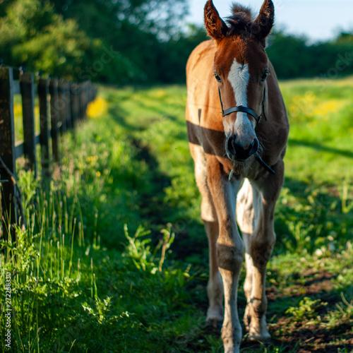 foal in field Canvas-taulu