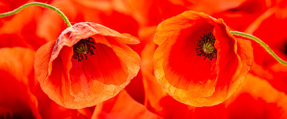 Fototapeta Maki poppy flower - common poppy - Papaver rhoeas